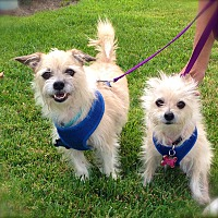 Terrier (Unknown Type, Small)/Maltese Mix Dog for adoption in Los Angeles, California - Cute Rusty & Princess-VIDEO