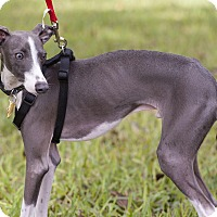 Adopt A Pet :: Pax in Austin area - Argyle, TX