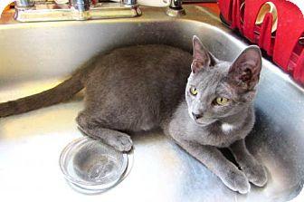 Russian Blue Kitten for adoption in Devon, Pennsylvania - Jack