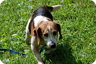 Beagle Mix Dog for adoption in Salem, West Virginia - Tracker