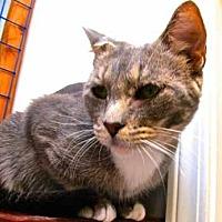Abyssinian Cat for adoption in Davis, California - Mia