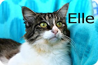 Domestic Shorthair Cat for adoption in Wichita Falls, Texas - Elle