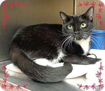 Domestic Shorthair Cat for adoption in Marietta, Georgia - NICKS