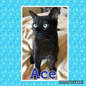 Domestic Shorthair Kitten for adoption in Arlington/Ft Worth, Texas - Ace