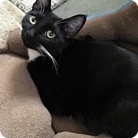 Siamese Cat for adoption in Yorba Linda, California - Sheila E