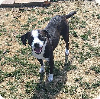 Beagle/Terrier (Unknown Type, Medium) Mix Dog for adoption in Staten Island, New York - Oreo