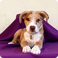 Adopt A Pet :: Canary - Los Angeles, CA