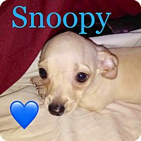Dachshund/Hound (Unknown Type) Mix Puppy for adoption in Los Angeles, California - Puppy Snoopy 'Mama Honey'