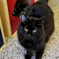Domestic Mediumhair Cat for adoption in Denver, Colorado - Florence Dicke Barnes