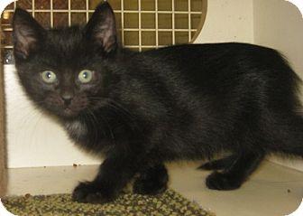 British Shorthair Kitten for adoption in Dallas, Texas - Devon