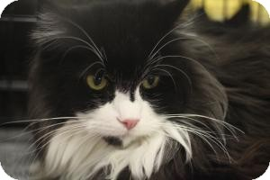 Maine Coon Cat for adoption in Sacramento, California - Pickles