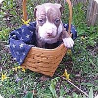 Adopt A Pet :: Male # 3 - Roaring Spring, PA