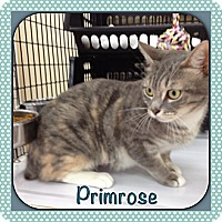 Adopt A Pet :: Primrose - Bradenton, FL