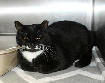 Domestic Shorthair Cat for adoption in Hilton Head, South Carolina - Ellie
