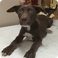 Adopt A Pet :: Chocolate laB x - Pompton Lakes, NJ