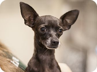 Chihuahua Mix Dog for adoption in Dallas, Texas - Scarlett