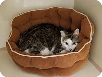 Domestic Shorthair Cat for adoption in Westbury, New York - June