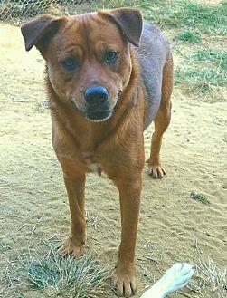 Shepherd (Unknown Type)/Labrador Retriever Mix Dog for adoption in Graceville, Florida - Jan