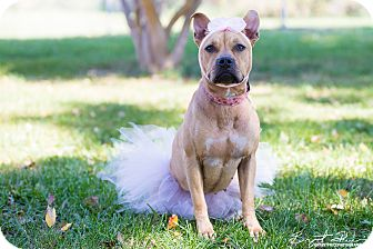 Pit Bull Terrier Mix Dog for adoption in Monroe, North Carolina - Jewel