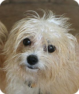 Terrier (Unknown Type, Small) Mix Puppy for adoption in Bedminster, New Jersey - Lark - MEET ME