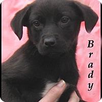 Adopt A Pet :: Brady- Adoption Pending - Marlborough, MA