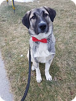 Anatolian Shepherd Mix Dog for adoption in Guelph, Ontario - Franky *Adoption Pending*