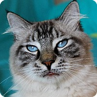 Adopt A Pet :: I'M FORREST, THE HANDSOME SIAMESE BOY! - jacksonville, FL