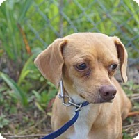 Adopt A Pet :: WHISKEY-URGENT FOSTER NEEDED! - Franklin, TN