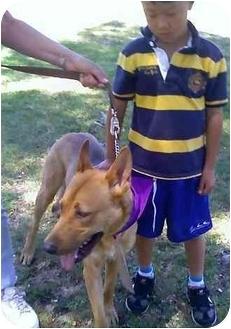 Shepherd (Unknown Type)/Pharaoh Hound Mix Dog for adoption in Riverside, California - Oso