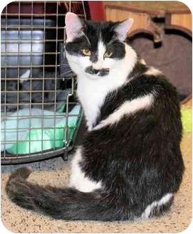 Domestic Shorthair Cat for adoption in Edmonton, Alberta - Teddy