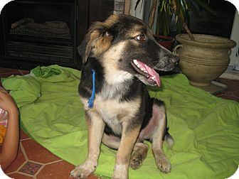 German Shepherd Dog Mix Puppy for adoption in Greeneville, Tennessee - Sebastian