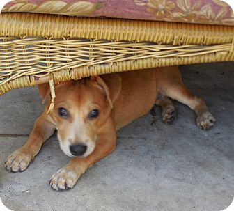 Basenji/Terrier (Unknown Type, Small) Mix Puppy for adoption in Ormond Beach, Florida - Sunny