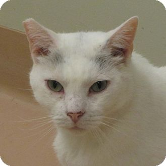 Domestic Shorthair Cat for adoption in Walden, New York - Dewey