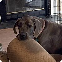 Adopt A Pet :: Harley - Courtesy Listing - Manassas, VA