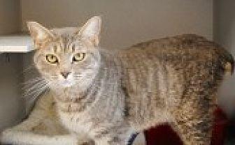 Domestic Shorthair Cat for adoption in Marietta, Georgia - Patriot