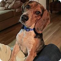 Adopt A Pet :: PJ - Knoxville, TN