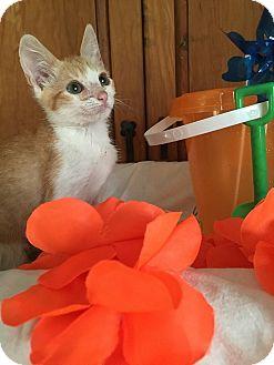 Domestic Shorthair Kitten for adoption in Tampa, Florida - Popeye