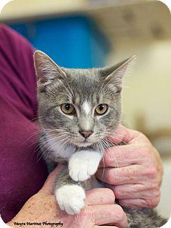 Domestic Shorthair Cat for adoption in Huntsville, Alabama - Champ