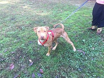 Pit Bull Terrier/Labrador Retriever Mix Dog for adoption in Siler City, North Carolina - Buster