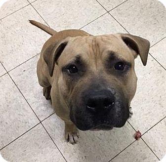 Terrier (Unknown Type, Medium)/American Pit Bull Terrier Mix Dog for adoption in Fulton, Missouri - Mason- Ohio