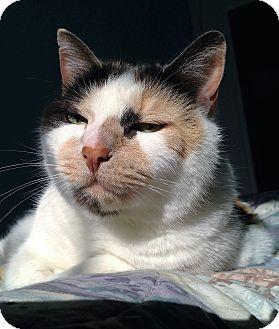 Domestic Shorthair Cat for adoption in Fairfax, Virginia - Winter
