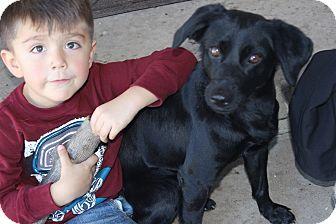Spaniel (Unknown Type)/Labrador Retriever Mix Dog for adoption in Pasadena, California - Faith