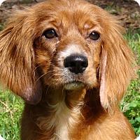 Adopt A Pet :: Copper - Sugarland, TX
