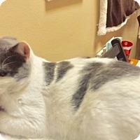Adopt A Pet :: Gus Gus - Las Vegas, NV