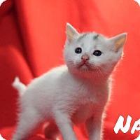 Adopt A Pet :: Navi - Batesville, AR