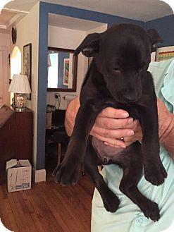 Rottweiler/Labrador Retriever Mix Puppy for adoption in Raleigh, North Carolina - Lucky 13