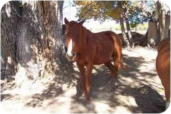 Quarterhorse/Other/Unknown Mix for adoption in Pueblo, Colorado - CJ