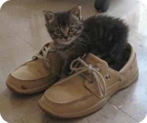 Domestic Shorthair Kitten for adoption in Omaha, Nebraska - Bonnie