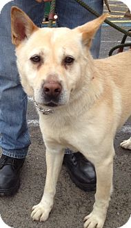 Husky/Shepherd (Unknown Type) Mix Dog for adoption in Rockaway, New Jersey - Emerson
