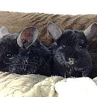 Adopt A Pet :: SoSo & PunPun - Granby, CT
